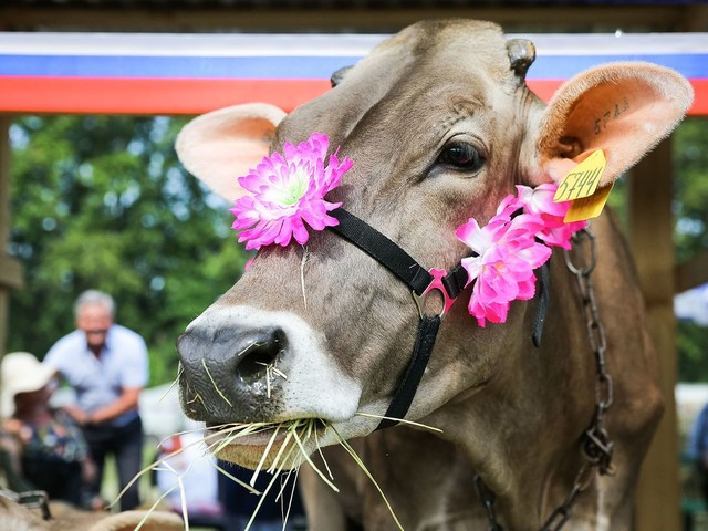 Krowy oczyszczą świat z plastiku? Zaskakujące wyniki badań