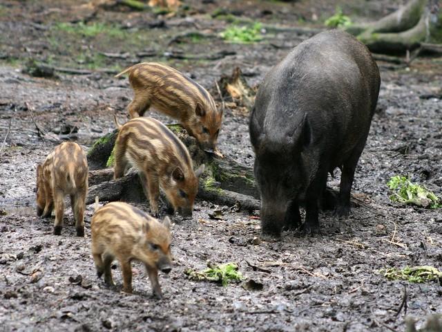 W Tatrach pojawiły się dziki. Po raz pierwszy od 30 lat!