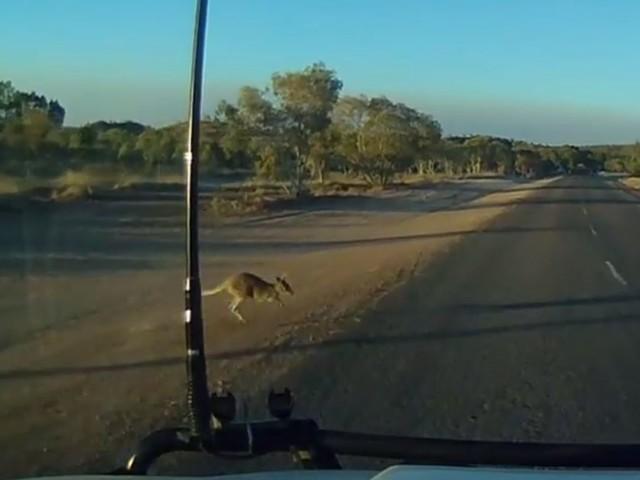 #dziejesiewmoto: kangur samobójca wybiega na drogę