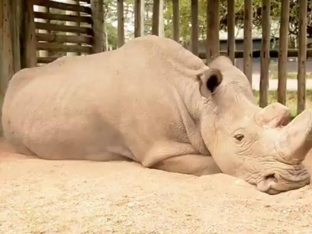 Tak wygląda wymieranie gatunku. Poruszające zdjęcie ostatniego nosorożca północnego