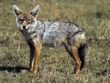 Guldschakal – Sveriges nya rovdjur