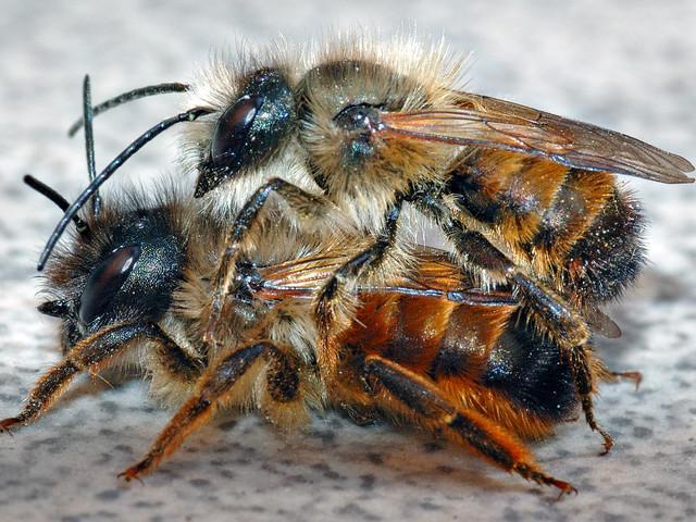 Honungsbin har det inte svårt och är inte hotade