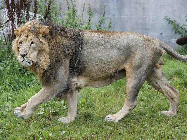 Kopplat lejon var nyklippt hund