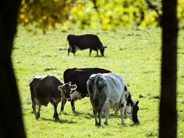 Kor sköts ihjäl – misstogs för vildsvin