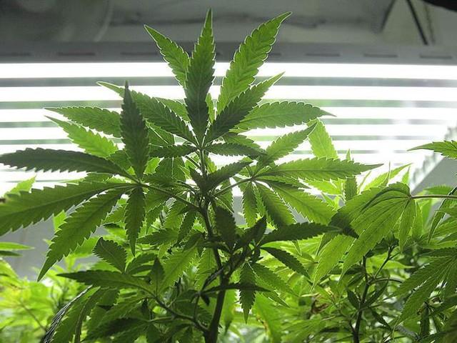 Trots svåra smärtor – olagligt odla cannabis