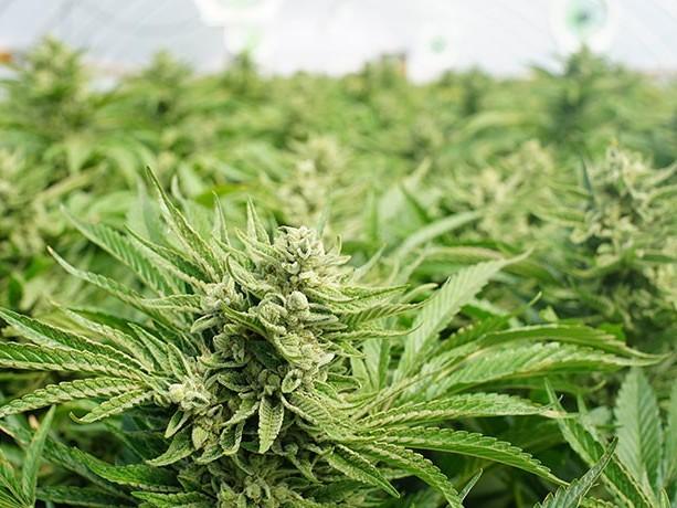 Växande cannabisutsikter