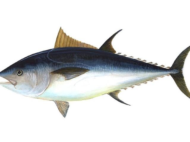 Fisken i Nordsjön mår bra