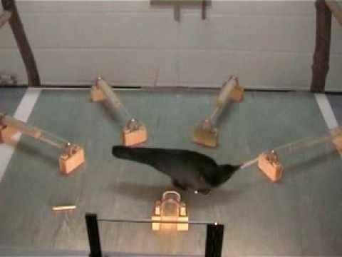 Kråkor visar prov på intelligens vid verktygsanvändande
