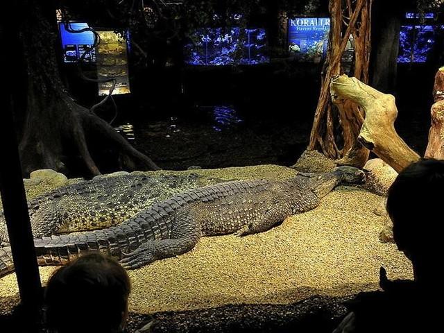 Festade på Skansen – bets av krokodil