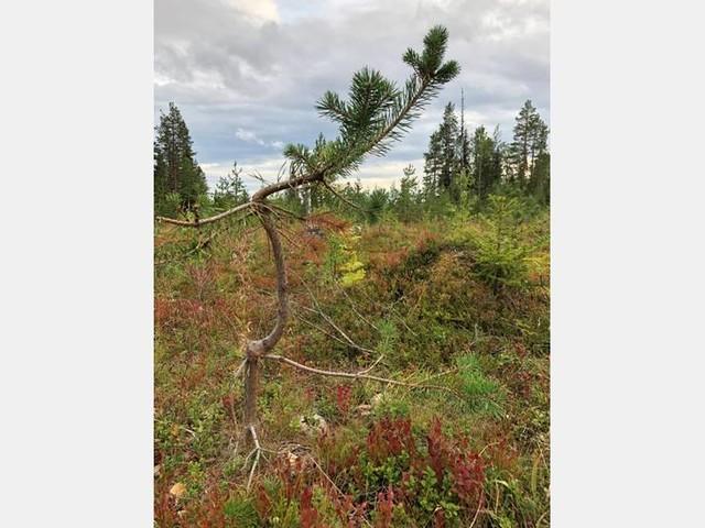 Skogsskadorna ökade under 2018