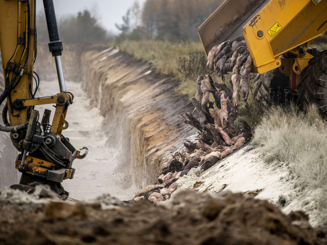 Nu ska döda minkar upp ur jorden – räkningen kan sluta på 150 miljoner