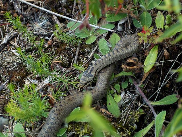 Det är bra med orm på tomten och huggorm är inte livsfarlig