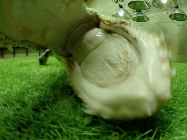 TV: Se när alligatorn anfaller vår kamera