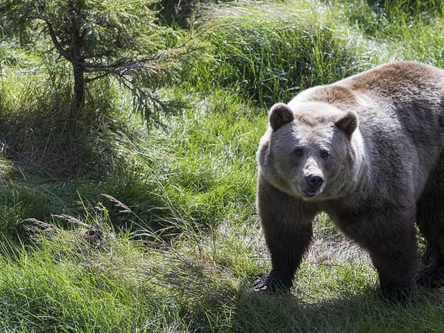 Illegala jaktmetoder stoppas under björnjakt