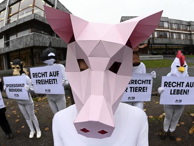 """Tyska smågrisar """"kräver"""" rättigheter"""