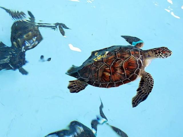 Havssköldpaddorna har blivit fler