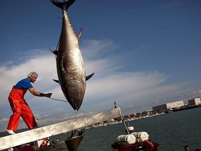 Källor: Kvoter för blåfenad tonfisk höjs