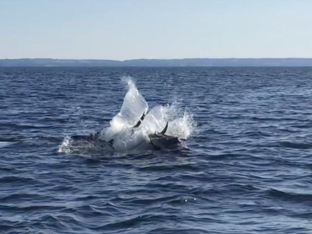 Video: Här hoppar tonfisken i Öresund