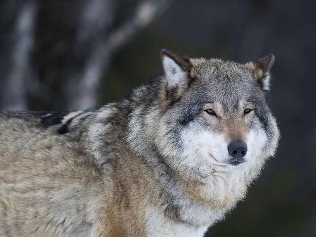 Fyra gripna för flera jaktbrott i Dalarna