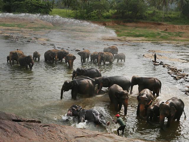 Elefanter till motattack vid cannabisjakt