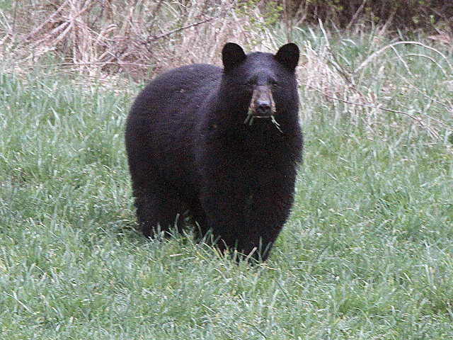 Löpare dödad av björn efter tävling