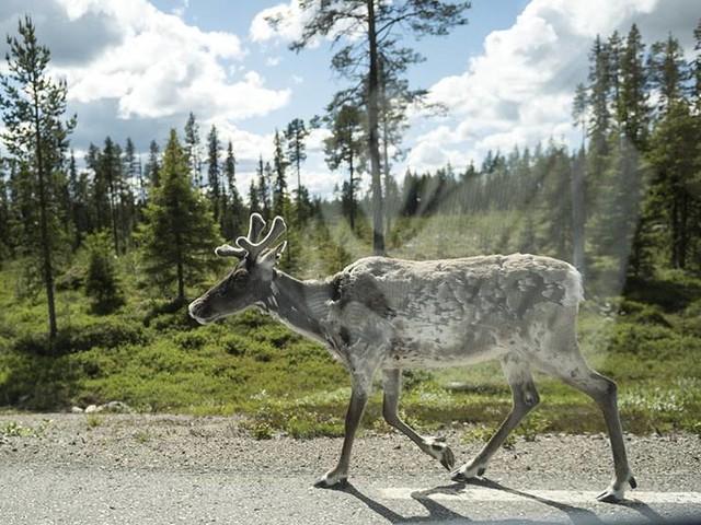 Tusentals hjortdjur testas för dödlig smitta