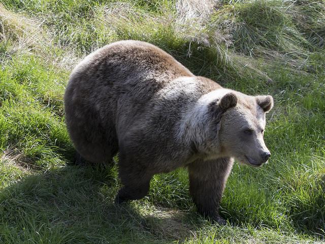 Avslag för att skjuta fler björnar