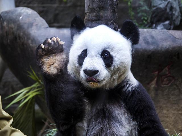 Världens äldsta panda död