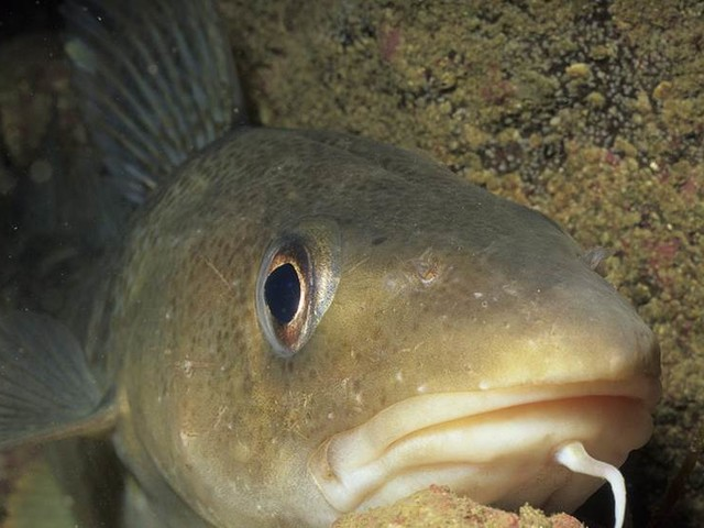 Plastpartiklar gör fiskar slöa