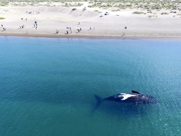 Viskande valar gömmer sig i vågskum