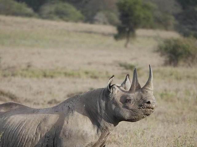 Färre tjuvskjutna noshörningar