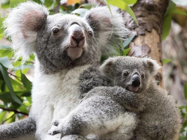 Bajstransplantation ger koalan bredare meny