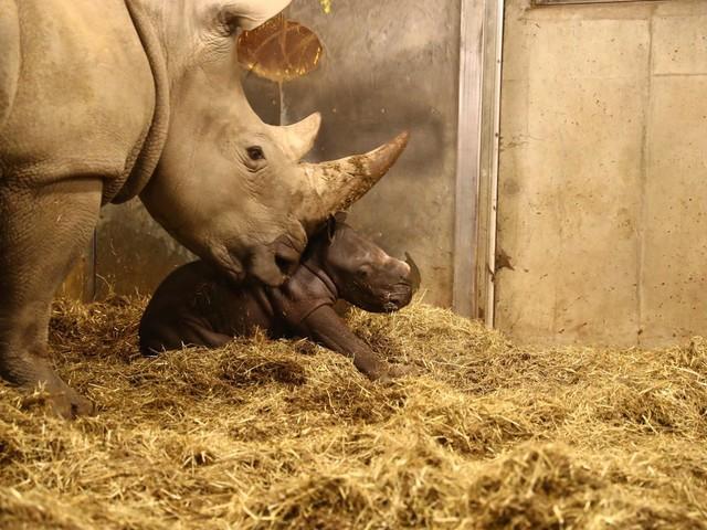 Utrotningshotad noshörningsunge född på Köpenhamns Zoo