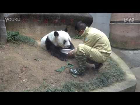 Världens äldsta panda i fångenskap har dött