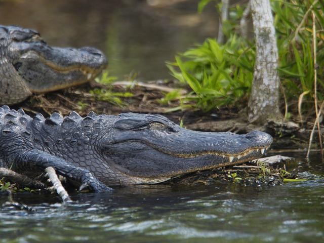 Berest alligator död i rysk djurpark