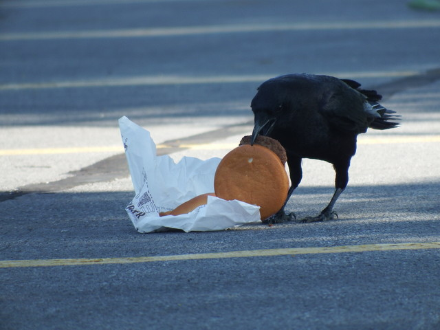Urban living leads to high cholesterol... in crows