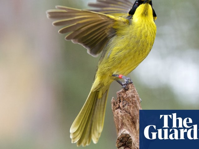 Hybrid helmeted honeyeater introduced to save bird from extinction – video
