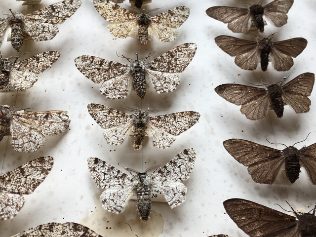 Study confirms truth behind 'Darwin's moth'