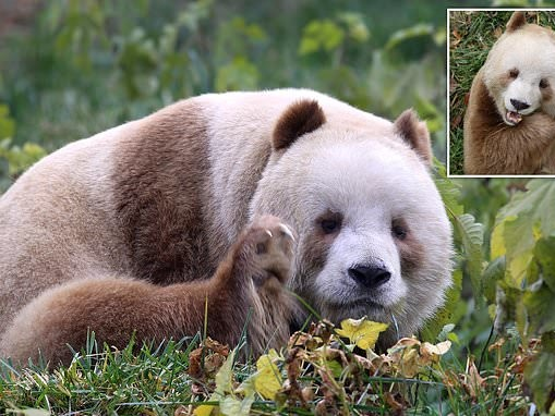 The world's only brown panda gets adopted: Qizai was bullied as a cub for looking different