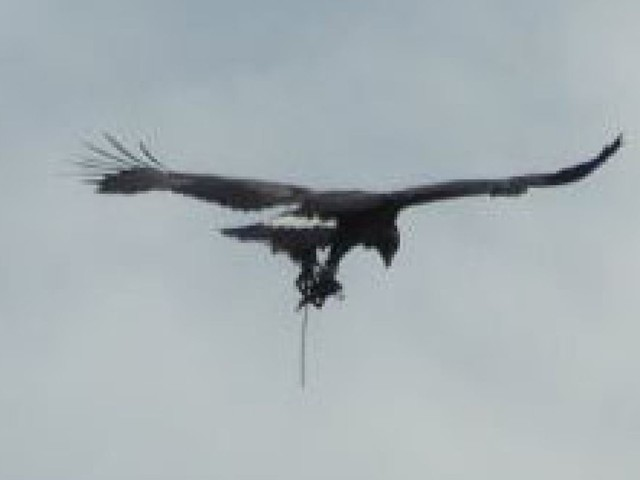 Golden eagle spotted flying with trap dangling from its leg