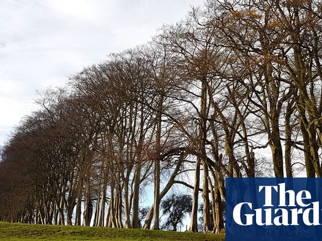 Country diary: these remarkable beeches can be seen from miles away