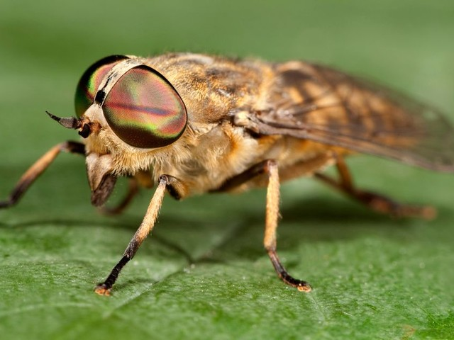 Horsefly season is here - what you should do if you get bitten