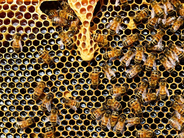 All the buzz—bigger honeybee colonies have quieter combs