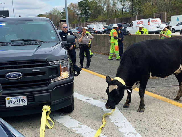 Virginia police went on a highway pursuit — for a cow