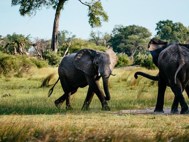 Botswana investigating mysterious sudden deaths of 350 elephants