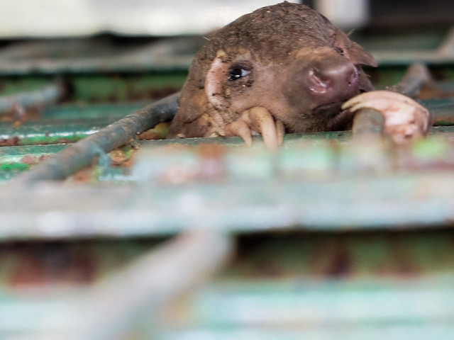 Endangered Pangolins Are Being Smuggled For Meat By Criminal Organisations