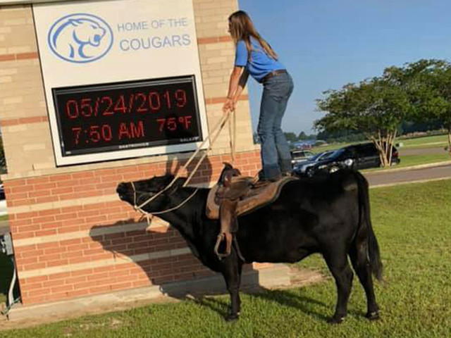High school junior rides cow to class on last day of school