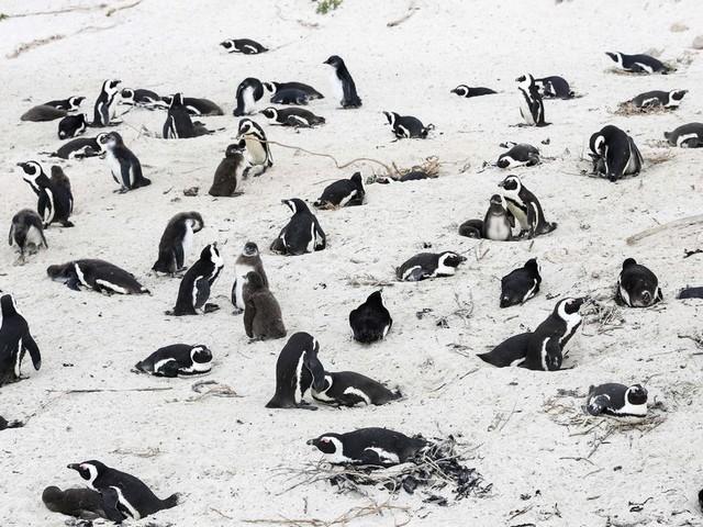 Bee Swarm Kills Dozens Of Endangered African Penguins, Officials Say