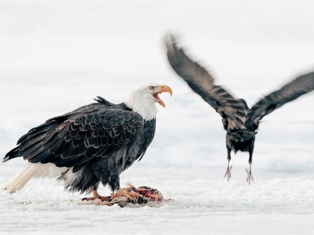 Man Charged for Killing Eagle That Was Eating Too Many Fish