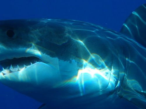 10 places you're most likely to see a great white shark